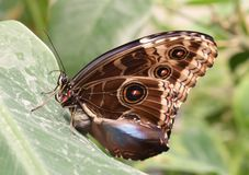 Macro tropical giant butterfly on a leaf royalty free stock photography