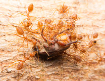 Macro of tropical red fire ants catching a prey Stock Photo