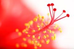 Macro tropicale del fiore dell'ibisco Fotografia Stock Libera da Diritti