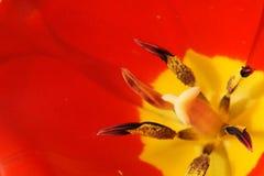 Macro tulip. Closeup of a beautiful red tulip Royalty Free Stock Photos