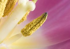 Macro tulip anther with pollen Royalty Free Stock Photo