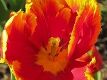 Macro Tulip Center rossa e gialla fotografia stock
