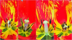Macro tulip collage Royalty Free Stock Photo