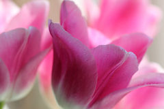 Macro of Tulip Flowers Stock Images