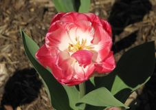 Macro Tulip Overhead bianca e di rosa fotografie stock libere da diritti