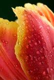 Macro of tulip petals. Macro of wet tulip petals Stock Photos