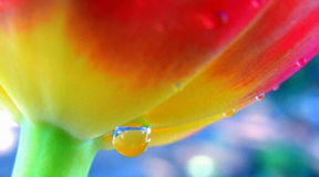Macro Tulip Royalty Free Stock Image