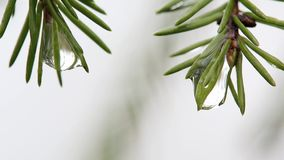 Macro twee takken van een pijnboom met dalingen van water stock footage