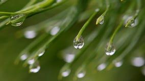 Macro twee takken van een pijnboom met dalingen van water stock video