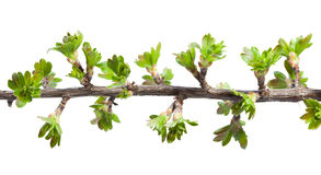 Macro of twig with fresh spring leaves Stock Image