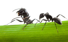 Macro of two ants on grass blade Royalty Free Stock Image