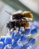 Macro of two bee front on blue colored flower royalty free stock photos