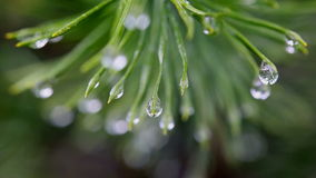Macro two branches of a pine with drops of water. And a blurred background stock footage