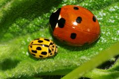 Macro of two Caucasian Caucasian ladybirds sitting on a green le. Macro of one red with black specks and one yellow Caucasian ladybird resting on a green leaf in royalty free stock photo