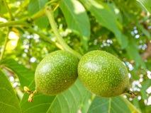 Macro two green nuts Stock Photo