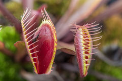Macro of two  insectivorous venus fly trap (Dionaea muscipula) Stock Image