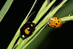 Macro two ladybirds in the grass in the foothills of the Caucasus. Macro of two different colored caucasian ladybirds in the grass in the shade in the foothills stock photography