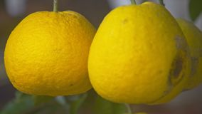 Macro two Large Ripe Yellow Pomelos As TET Symbol. Macro two large ripe sweet deep yellow pomelos as Vietnamese TET symbol at bright sunlight stock video footage