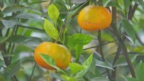 Macro two Tangerines among Leaves for TET in Vietnam. Macro two large orange ripe tangerines among leaves on Vietnamese New Year tree as symbol of welfare stock video