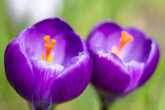 Macro of two violet crocus Stock Photos