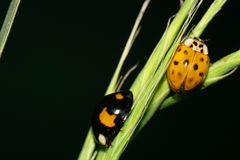 Macro two yellow-black ladybirds with wings creeping in the gras. Macro two yellow-black in spots of Caucasian ladybirds with wings, paws, tendrils creeping in royalty free stock image