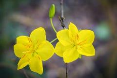 Macro un ramo di integerrima di integerrima del ochna, i fiori del nuovo anno vietnamita tradizionale Fotografie Stock Libere da Diritti