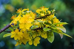 Macro un ramo di integerrima di integerrima del ochna, i fiori del nuovo anno vietnamita tradizionale Immagini Stock Libere da Diritti