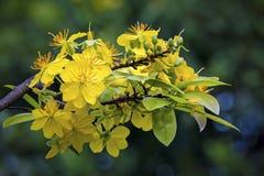 Macro un ramo di integerrima di integerrima del ochna, i fiori del nuovo anno vietnamita tradizionale Fotografia Stock Libera da Diritti