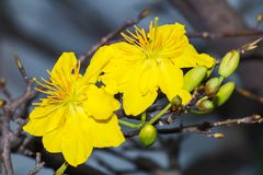 Macro un ramo di integerrima di integerrima del ochna, i fiori del nuovo anno vietnamita tradizionale Immagini Stock