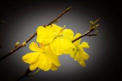 Macro un ramo di integerrima di integerrima del ochna, i fiori del nuovo anno vietnamita tradizionale Immagine Stock