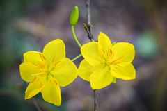 Macro una rama del integerrima del integerrima del ochna, las flores del Año Nuevo vietnamita tradicional Fotos de archivo libres de regalías
