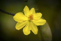 Macro una rama del integerrima del integerrima del ochna, las flores del Año Nuevo vietnamita tradicional Imagen de archivo libre de regalías