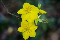 Macro una rama del integerrima del integerrima del ochna, las flores del Año Nuevo vietnamita tradicional Fotografía de archivo libre de regalías