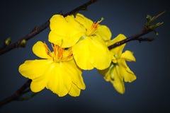 Macro una rama del integerrima del integerrima del ochna, las flores del Año Nuevo vietnamita tradicional Fotografía de archivo