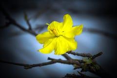 Macro una rama del integerrima del integerrima del ochna, las flores del Año Nuevo vietnamita tradicional Imagen de archivo
