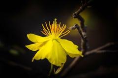 Macro una rama del integerrima del integerrima del ochna, las flores del Año Nuevo vietnamita tradicional Fotos de archivo