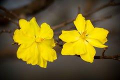 Macro una rama del integerrima del integerrima del ochna, las flores del Año Nuevo vietnamita tradicional Imagenes de archivo