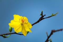 Macro una rama del integerrima del integerrima del ochna, las flores del Año Nuevo vietnamita tradicional Foto de archivo libre de regalías