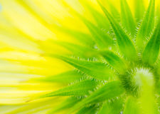 Macro of underside of sunflower. Close up of underside of yellow sunflower creates abstract background Royalty Free Stock Photography