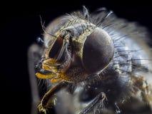 Macro une mouche, grande fin de monstre, grand insecte superbe, vue de face Images stock