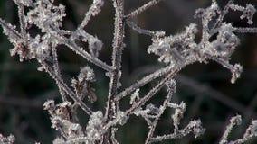 Macro van bevroren installatie met rijp Mooi natuurlijk installatiedeel met ijskristallen in de winter in dichte omhooggaand stock video