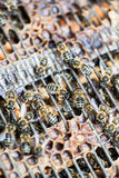Macro van bijen op een honingraat wordt geschoten die Stock Foto