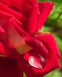 Macro van bloeiende rode rozen wordt geschoten die Stock Afbeeldingen