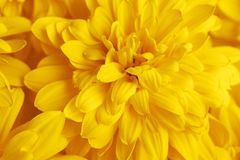 Macro van bloem de gele rudbeckia Royalty-vrije Stock Foto's