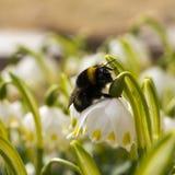 Macro van Bumble bij wordt geschoten die op een bloem kruipen die royalty-vrije stock fotografie
