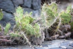 Macro van cactus met rotsen op de achtergrond wordt geschoten die royalty-vrije stock fotografie