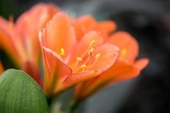 Macro van Clivia-bloemen wordt geschoten die stock foto's