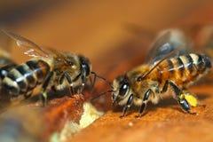 Macro van de Bij van de Honing Stock Foto