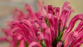 Macro van de bloemblaadjes van Jacobinia ` s royalty-vrije stock foto