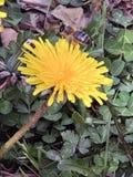Macro van de de lente de gele bloem stock afbeeldingen